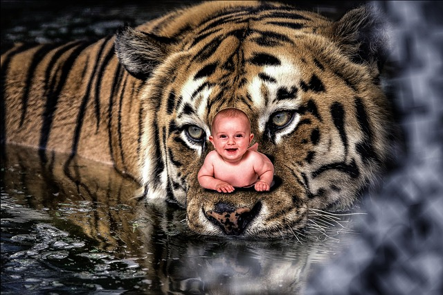 tygr a batole