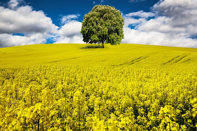 Strom v řepce