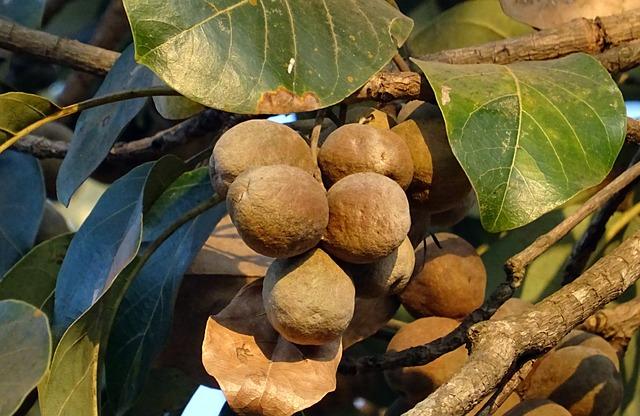 triaphala je směs tří ájurvédských bylin